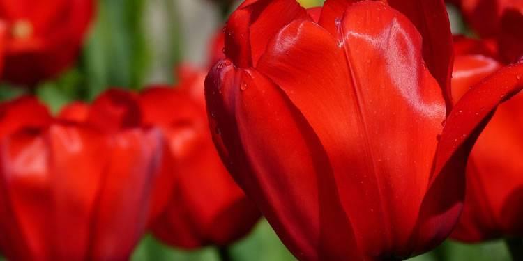 Когда высаживать луковицы тюльпанов