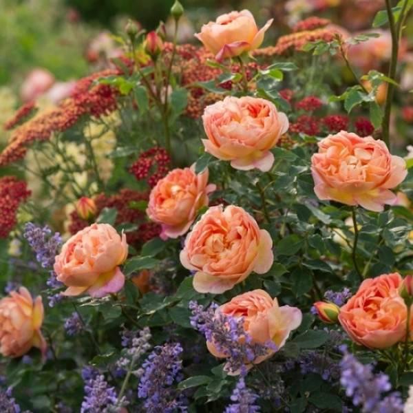 Роза леди оф шалот