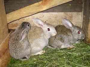 Окрол крольчихи – что нужно знать?