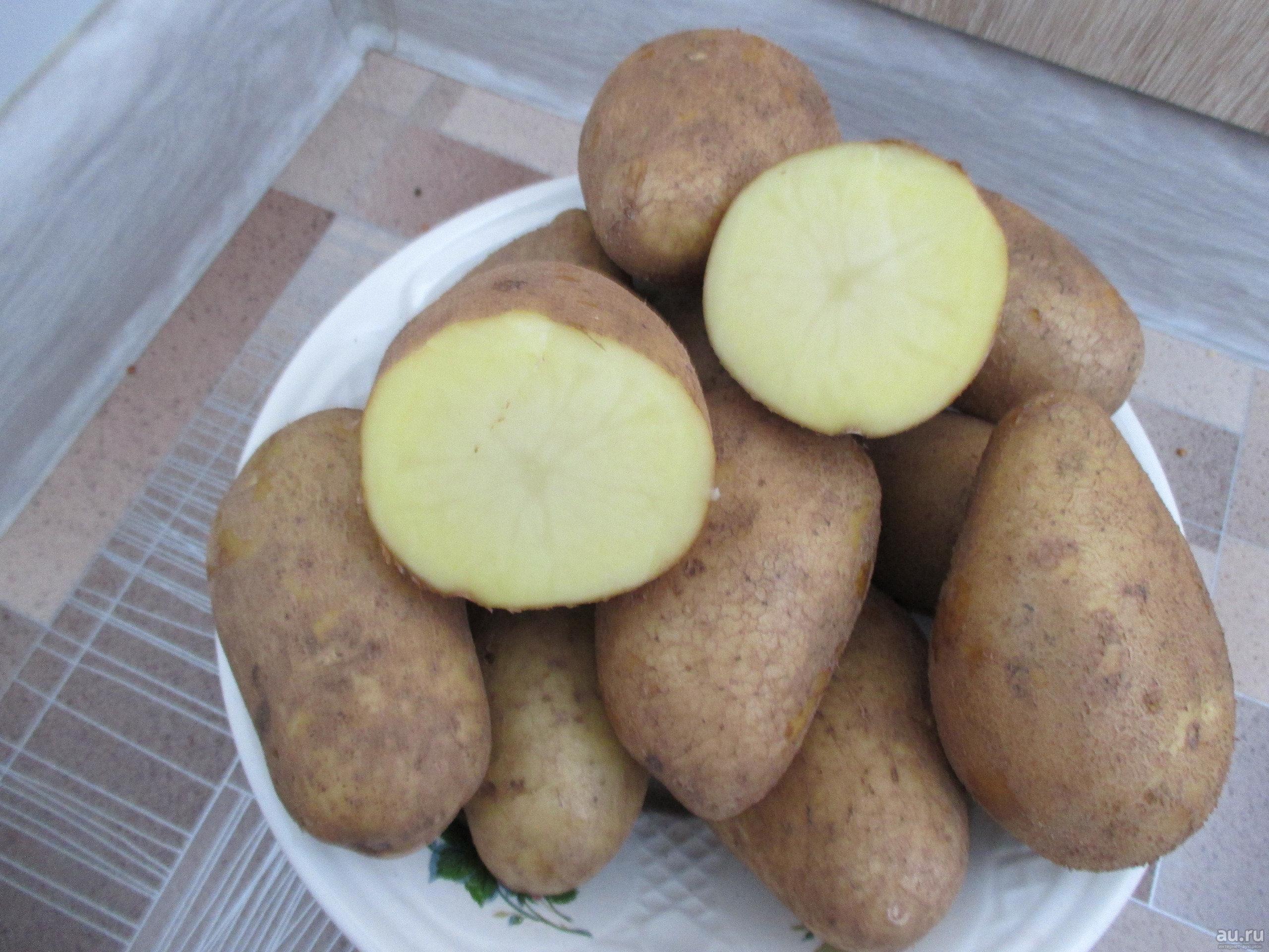 Губернаторский картофель «тулеевский» : описание сорта, фото, характеристика, особенности