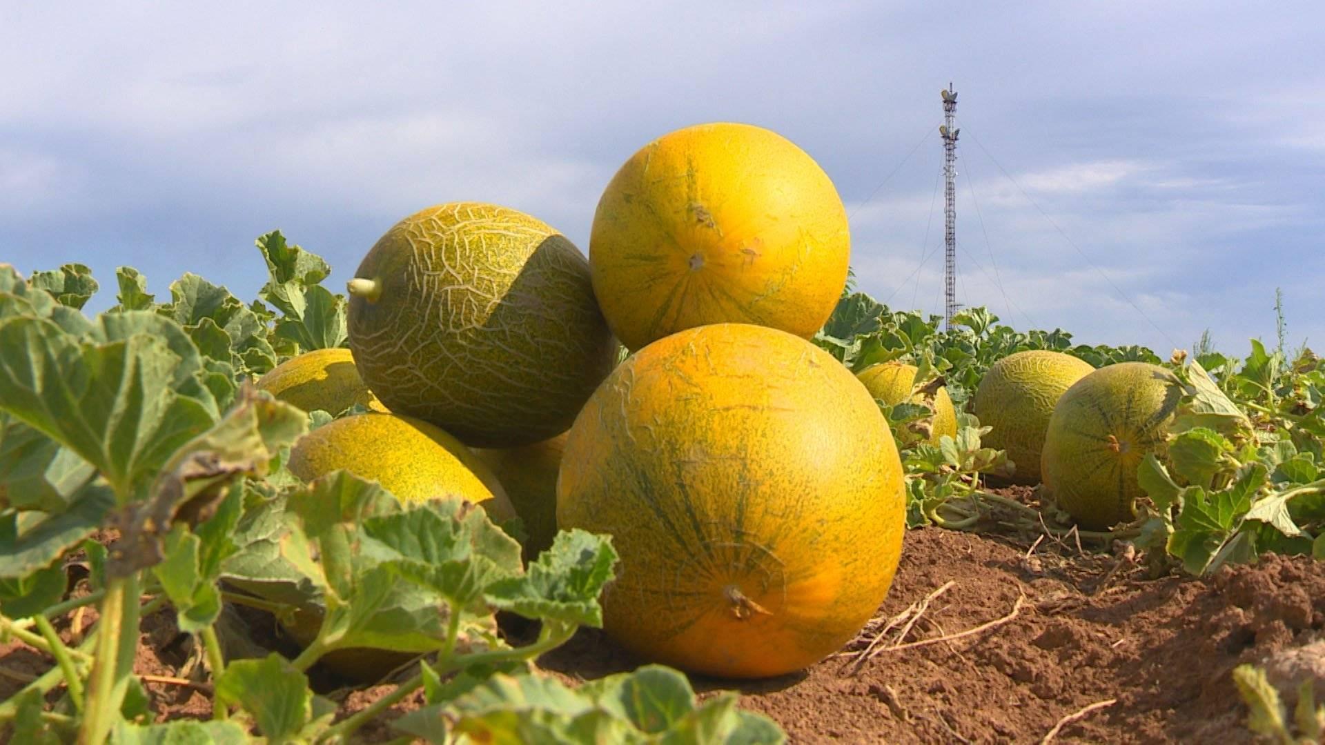Выращивание дыни в открытом грунте: как получить достойный урожай
