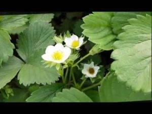 Почему появляются пустоцветы на огурцах, как с ними бороться, что делать