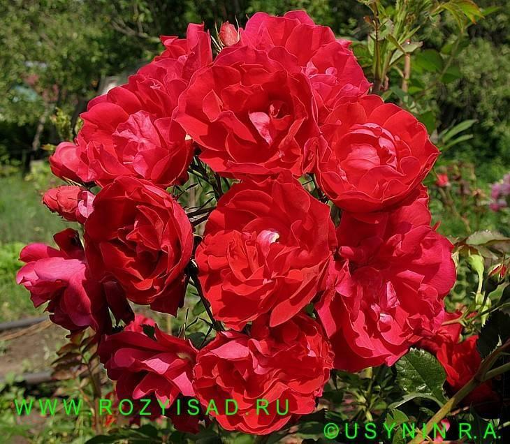Роза канадская аделаида худлесс