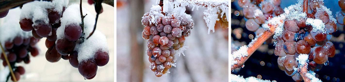 Виноград замерз что делать