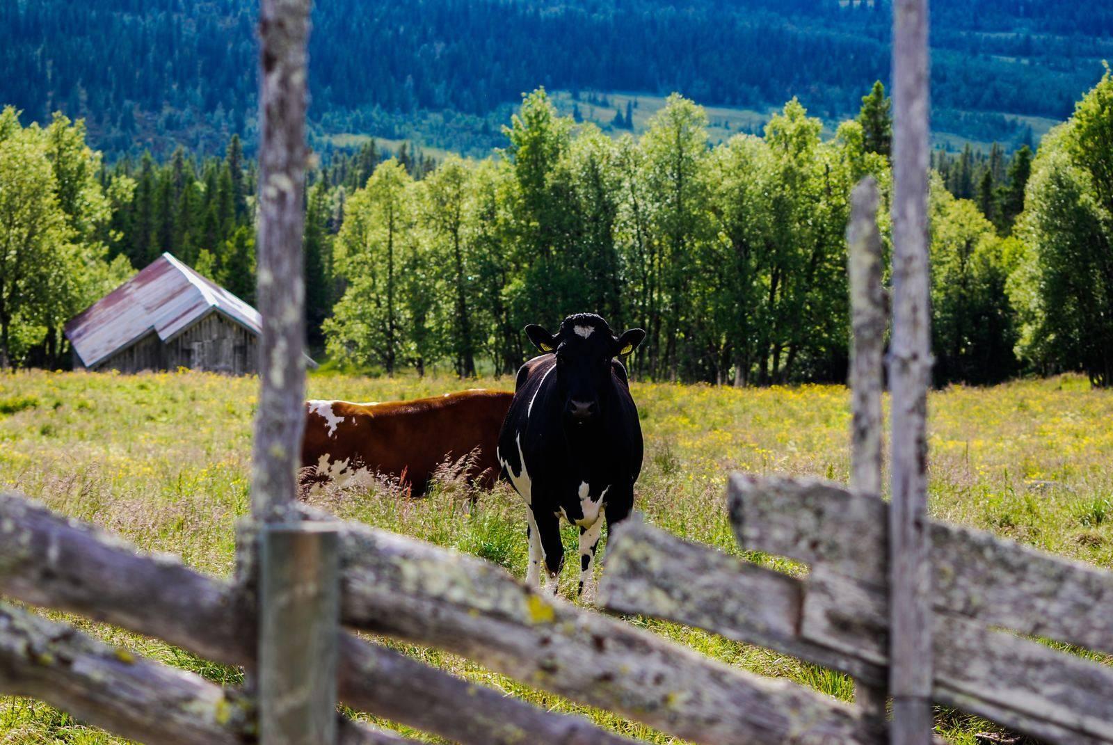 Эксперты сельхозпереписи посчитали, сколько в россии коров