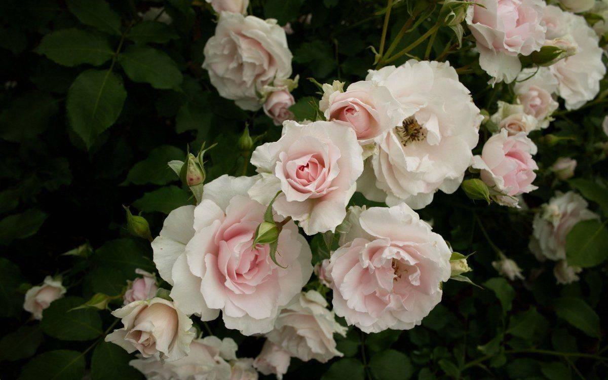 Почему розы растут очень высоко