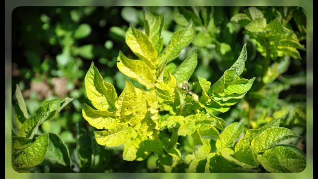 Почему желтеют листья у помидор в теплице