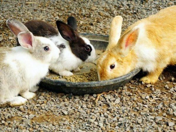 Сколько раз в сутки крольчихи кормят новорожденных крольчат: как часто