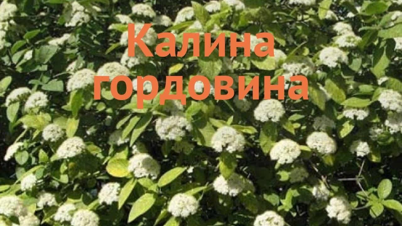 Калина гордовина (35 фото): описание, примеры в ландшафтном дизайне, гордовина обыкновенная «ауреа» и «вариегата», высота, посадка и уход