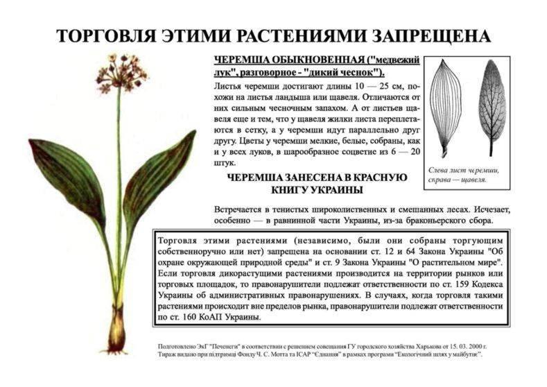 Черемша: что это такое, полезные свойства и противопоказания, выращивание, фото