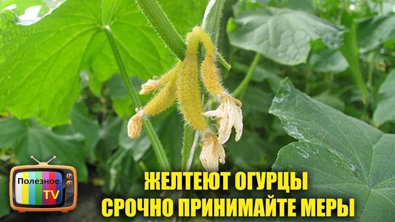 Почему желтеют листья у огурцов на подоконнике