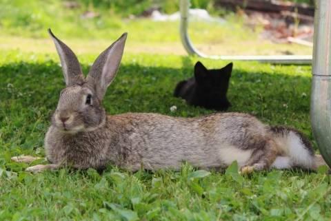 Кролик белый великан: описание породы, фото, продуктивность, содержание, отзывы