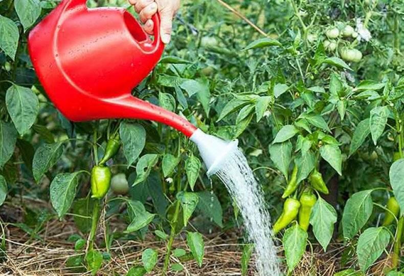 Как часто поливают перец в теплицах из поликарбоната: правила полива