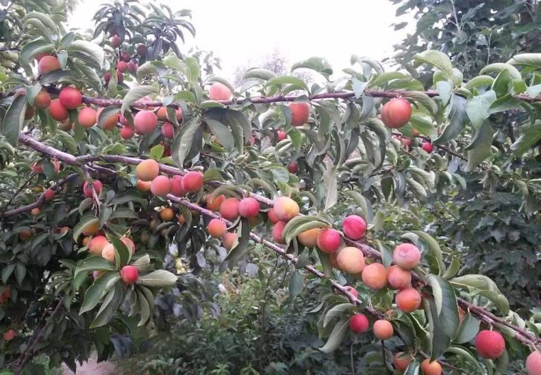 Какие сорта яблони лучше сажать на урале?