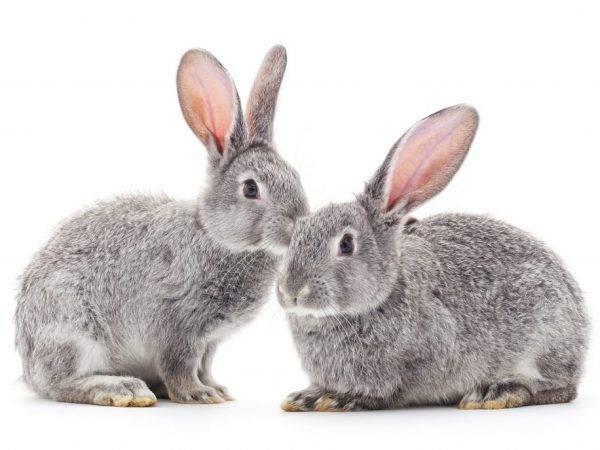 Как ухаживают за кроликом: что нужно, как правильно кормить, стрижка и кастрация