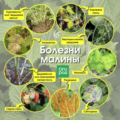 Болезни и вредители малины. описание и способы борьбы и лечения