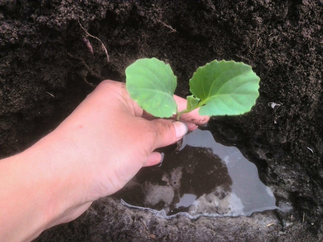 Выращивание капусты из семян в открытом грунте