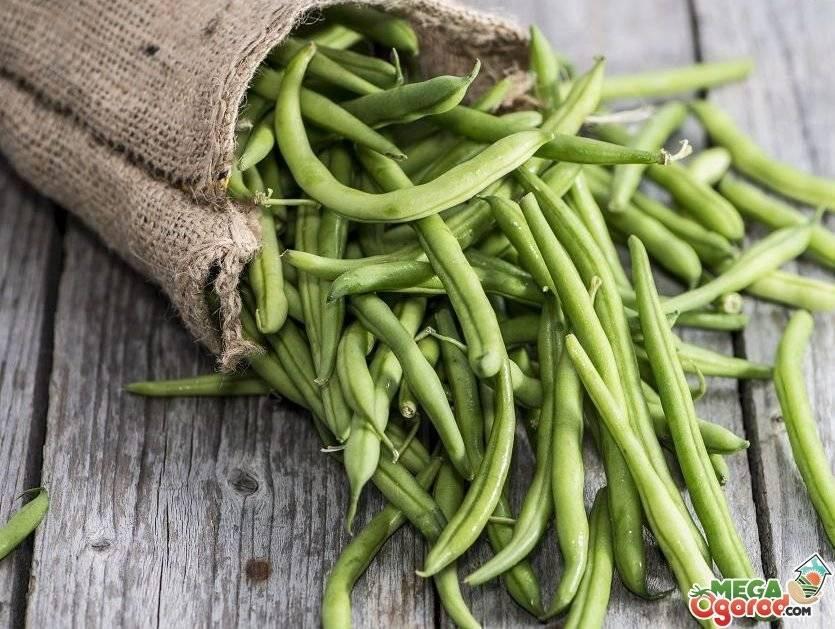 Фасоль – это овощ или нет: описание, как выглядит растение