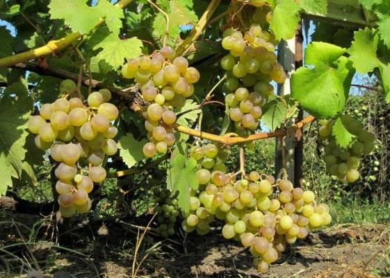 Виноград галбена ноу: описание сорта и характеристики, посадка и уход, отзывы