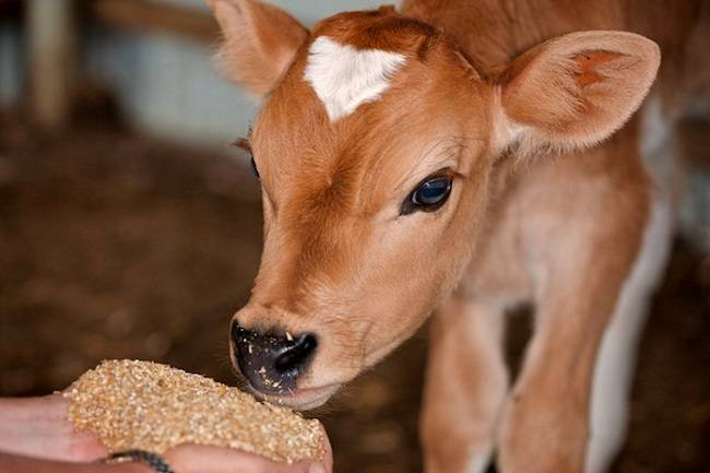 Кормление телят: молоко и заменители