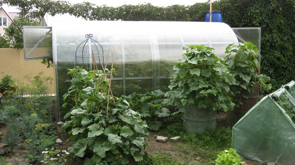 Кустовые огурцы (для открытого грунта и теплицы) — самоопыляемые сорта