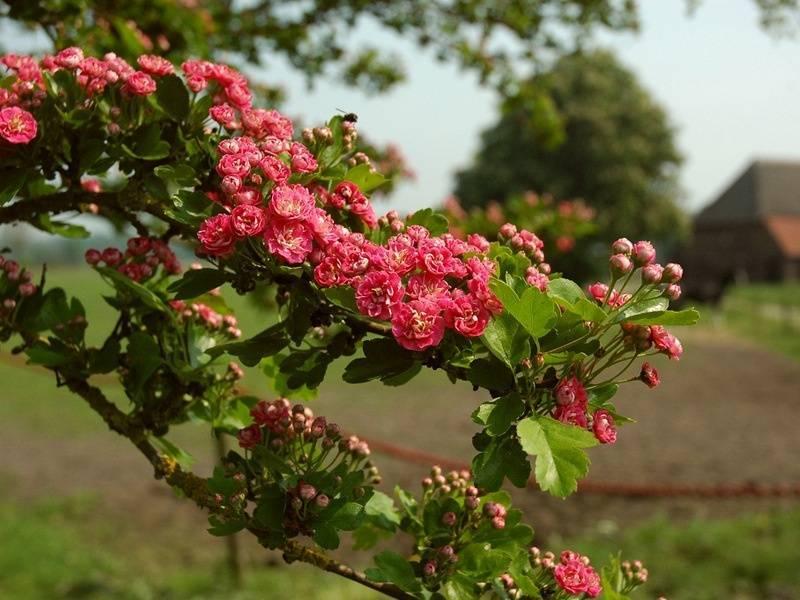 Боярышник садовый крупноплодный и его разновидности