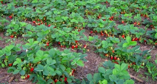Выращивание клубники в открытом грунте - секреты урожая