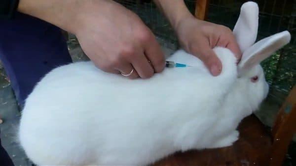 Какие и когда делать прививки кроликам в домашних условиях?