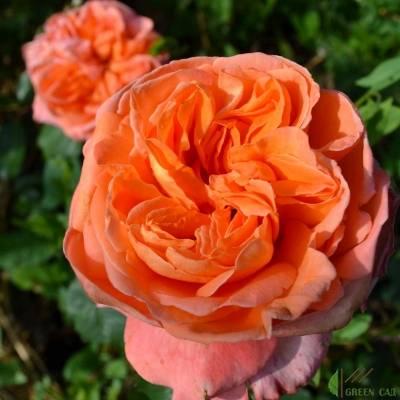 Роза астрид графин фон харденберг – немецкая строгость и элегантность