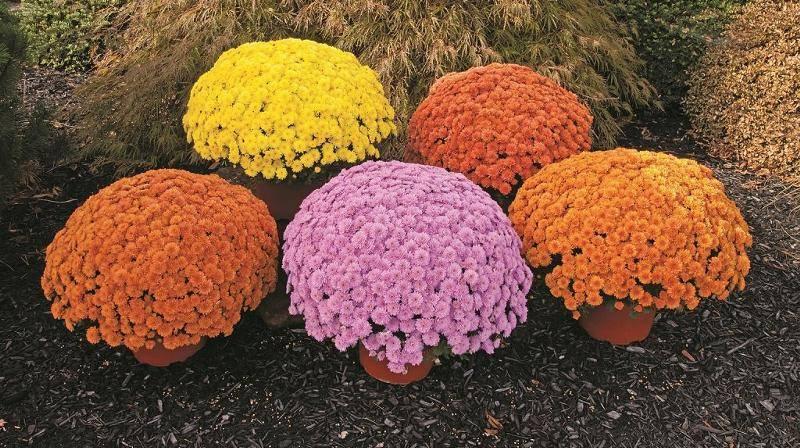 Хризантемы шаровидные: выращивание и уход