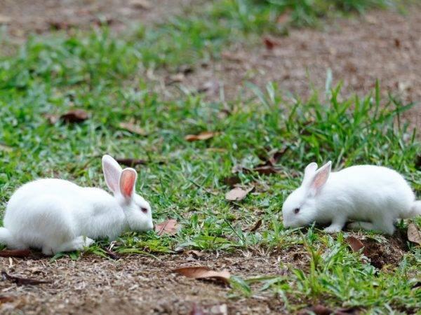 Когда можно случать крольчиху после окрола