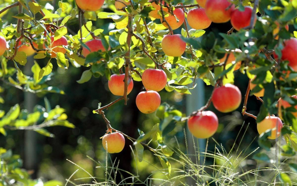 Причина почему у яблони нижние листья и яблоки крупные, а верхушка мелкие листья и яблоки мелкие.?