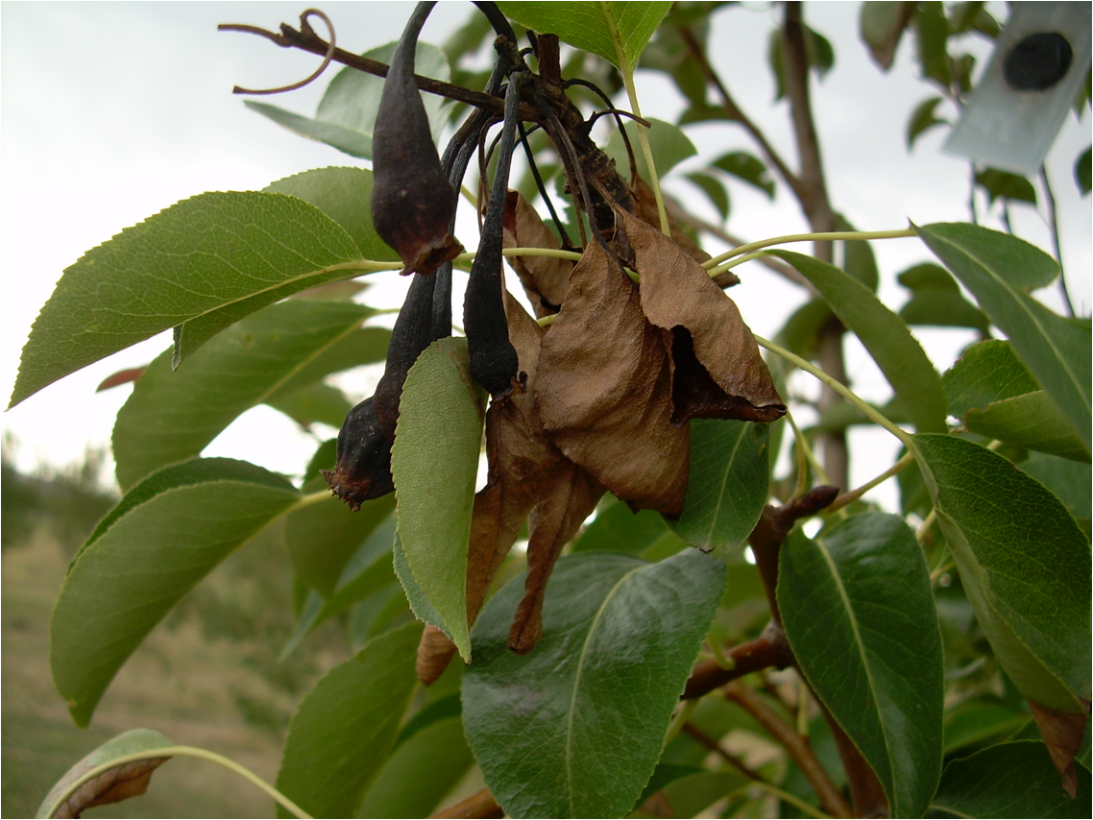 На груше чернеют листья: причины и методы лечения