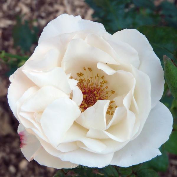 Роза куин элизабет: королева сада