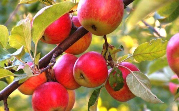 Подробная характеристика и особенности выращивания яблони сорта легенда