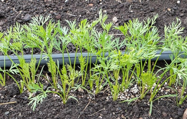 Как поливать морковь в открытом грунте: правильный уход за корнеплодом