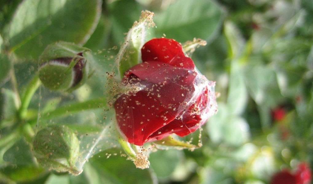 Роза опустила бутон - запись пользователя юлия (squoria) в сообществе цветоводство в категории розы - babyblog.ru