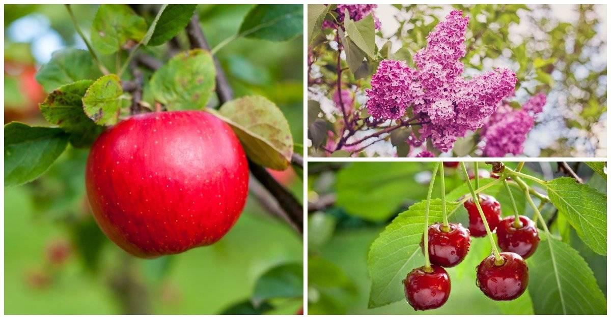 Можно ли сажать ежевику рядом с виноградом