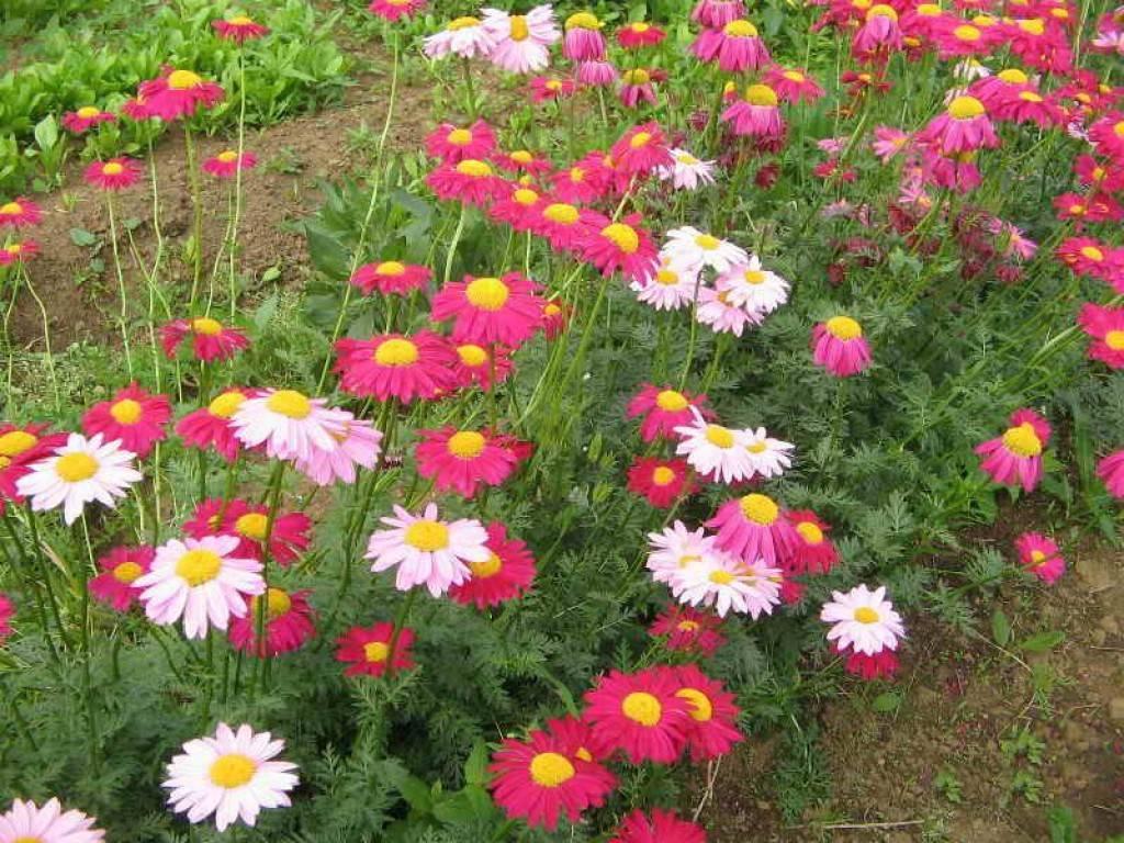 Уход за пиретрумом девичим или далматской ромашкой (персидская розовая ромашка)