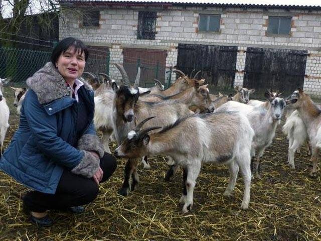 Козоводство в домашних условиях: содержание козы в хозяйстве, как ухаживать и условия, размеры стойла