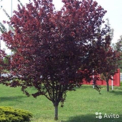 Prunus cerasifera var. pissardii (carrière) koehne описание таксона
