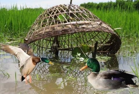 Подсадная утка: осбенности охоты, разведения и содержания подсадной утки