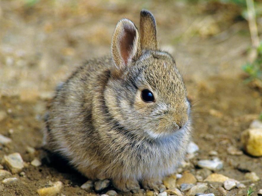 Чем отличается зайцы от кроликов