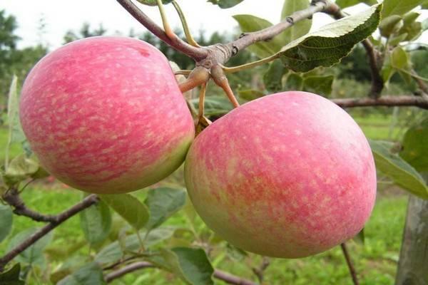 Особенности посадки и ухода за яблоней антей