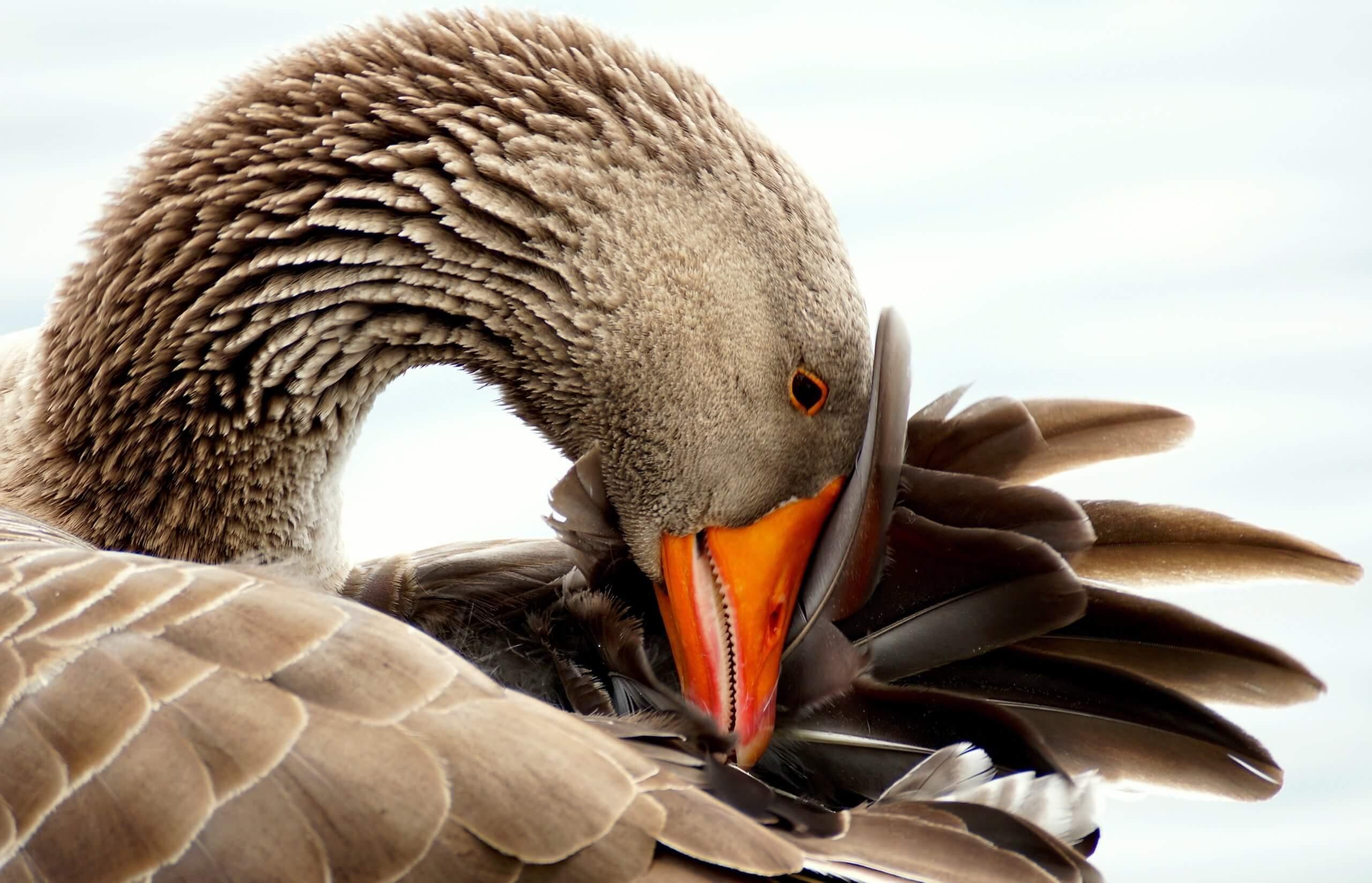Как отличить гуся от лебедя. разница между гусем и лебедем. где живет лебедь