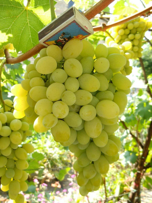 Виноград плевен — ягоды грибы