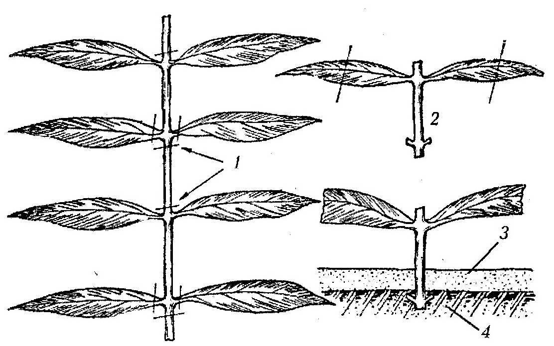 Размножение флоксов черенками