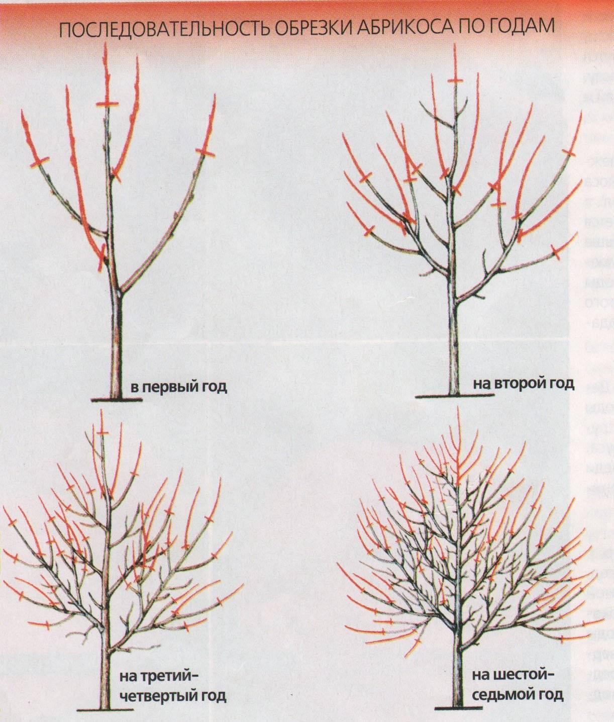 Агротехника выращивания абрикоса: посадка и уход