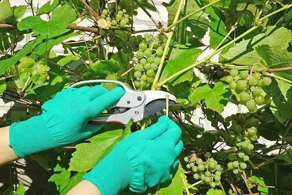 Усы на винограде обрывать или нет, когда надо обрезать, функция усиков