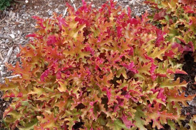 Гейхера: посадка и уход в открытом грунте, фото, размножение и зимовка